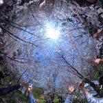 中国・上海世紀公園の桜をTHETA Sで撮ってみた